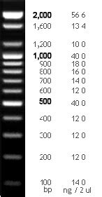 Bioneer Pacific - 100 bp DNA Ladder