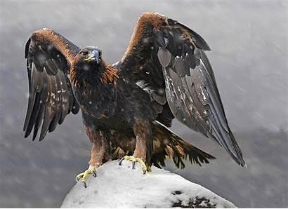 Eagle Golden Birds Prey Eagles Animals Bird