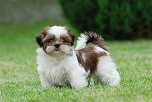 shih tzu puppy photograph by waldek dabrowski