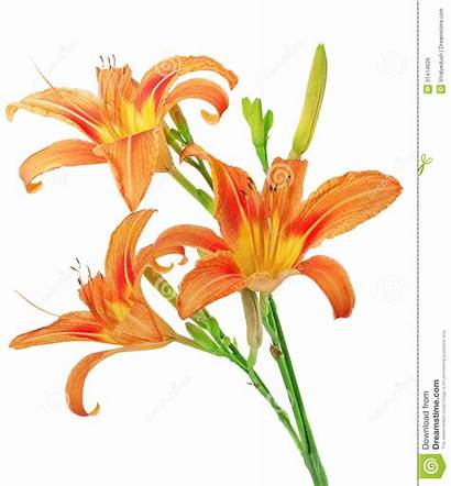 Tiger Lilies Background Clipart Lily Clip Orange