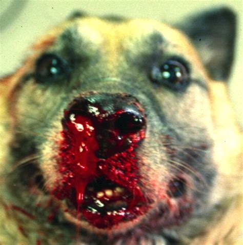 la leishmaniose chien