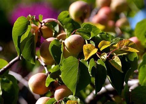 Health Benefits of Apricot Seeds or Kernels   HubPages