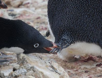 penguinscience understanding penguin response  climate