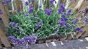 Lavanda Dark Hidcote Blue Para Mi Jardín
