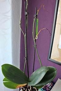 Engelstrompete Blüht Nicht : orchidee bl ht nicht mehr die besten tipps orchideenpflege orchideen garten orchideen pflege ~ A.2002-acura-tl-radio.info Haus und Dekorationen