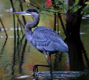 Nature Notes: Great blue herons are gathering up ...
