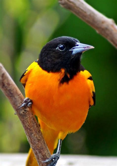 picture of a oriole bird best 25 baltimore orioles birds ideas on the orioles oriole bird and bird feeders uk