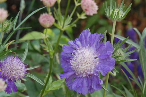 Scabiosa Perfecta Blue Grows On You