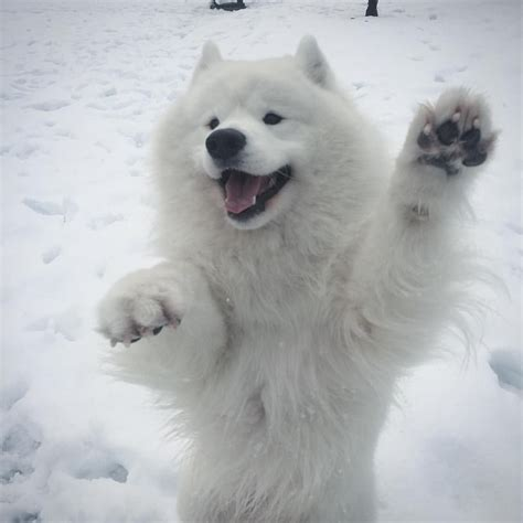 Pin By Steve Jacobs On Mans Best Friend Samoyed Dogs