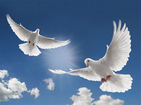 dove wallpapers  picture   beautiful