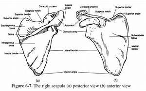 Appendicular Skeleton Worksheets