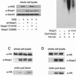 Effect of Keap1 C151W on Nrf2 levels and ubiquitination ...