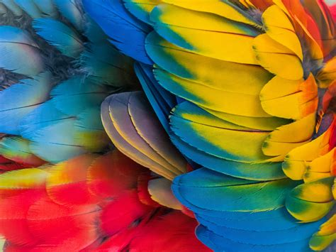 Parrot Colorful Feathers Close-up Wallpaper