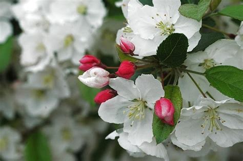How To Choose The Best Crab Apple Tree Csmonitorcom