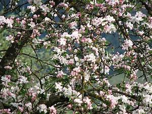 Mondkalender Für Pflanzen : das malerische astgewirr eines ungeschnittenen alten apfelbaumes wird zwar viele bl ten bringen ~ Orissabook.com Haus und Dekorationen