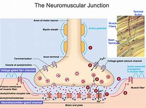 Cmc Education  Neuromuscular Junction