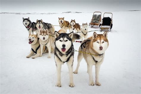 snow dogs kennel visit myvatn north