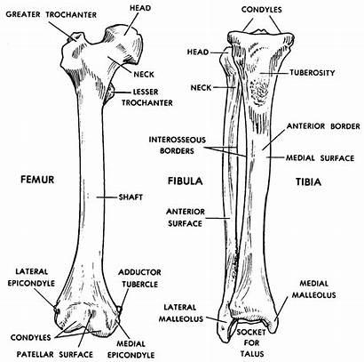 Femur Tibia Anatomy Anterior Fibula Human Skeleton