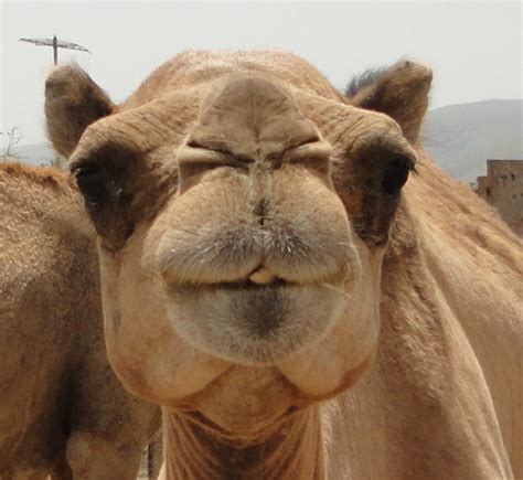 cute camel photo