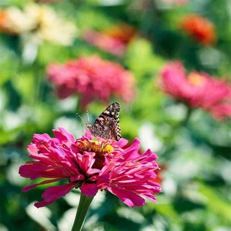 Garten Pflanzen Schmetterlinge by Zinnie Im Garten Schmetterlinge Locken Zinne