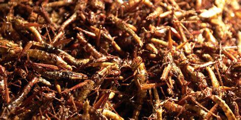 cuisiner des palombes manger des insectes avec cette farine à base de