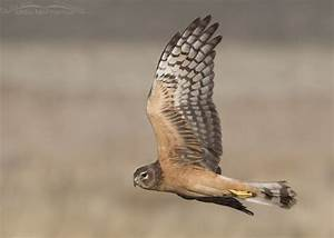 Juvenile Northern Harrier Female in Flight Over Farmington ...