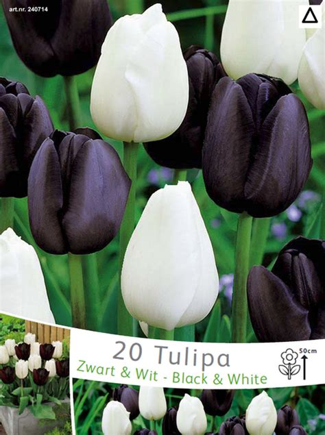 tulips black and white mix for sale buy for 163 7 99