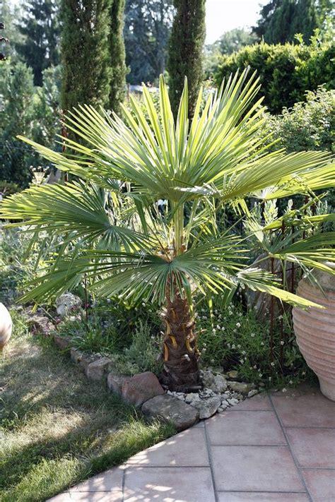 chinesische hanfpalme pflege best 25 hanfpalme ideas on palmen garten yucca palme winterhart and hanfpalme pflege