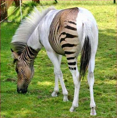 zebroid zebra hybrid animals horse related hybrids piebald rare horses weird half awe cross zorse bred equine nairaland born incredible