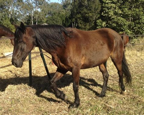 sale paso creole mare gaited
