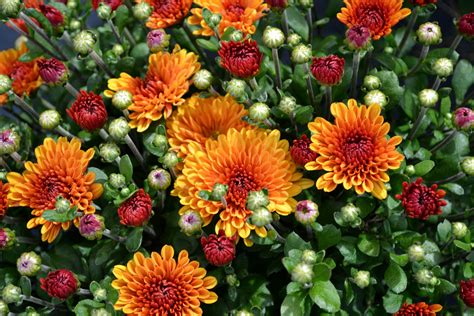 Taking Care of Fall Mums - Sheridan Nursuries Blog