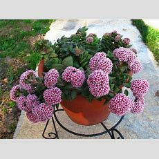 1000+ Images About Crassula On Pinterest Growing