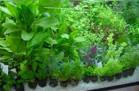 water plants for aquarium plantsdiscus