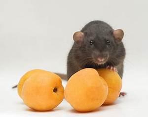 Comment Se Debarrasser Des Rats : lutte contre les rats les solutions pour se d barrasser des rats ~ Melissatoandfro.com Idées de Décoration