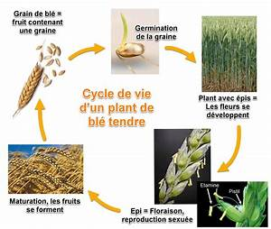 Mites Alimentaires Cycle De Reproduction : le bl le vivant sa diversit et les fonctions qui le ~ Dailycaller-alerts.com Idées de Décoration