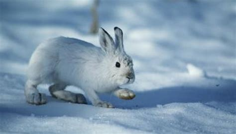 rabbit snowshoe snow rabbits hares cottontail between differences does animals getty stockbyte brakefield tom mom circle orange studio