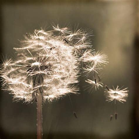dandelion flower sepia photography  yuliartstudio