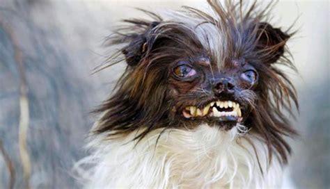 peanut el perro mas feo del mundo su duena destinara el