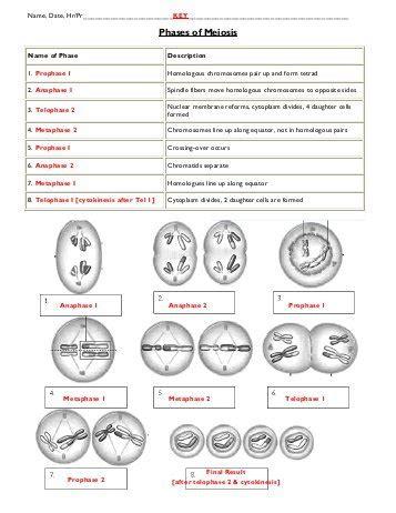 meiosis i sketches