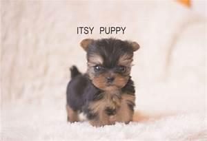 Yorkshire Terrier Teacup Size   www.pixshark.com - Images ...