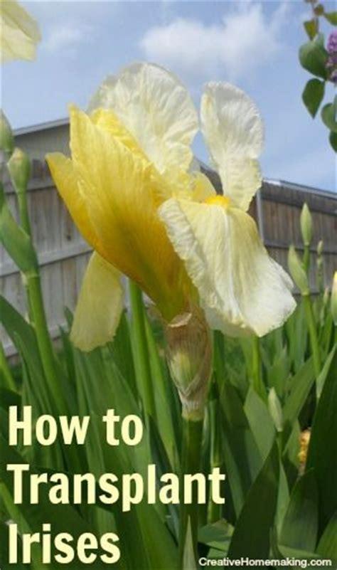 how to grow an iris 17 best images about iris on pinterest gardens flower and caterpillar