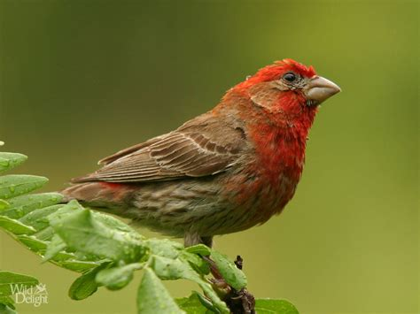 pictures of house finches bird house finch delightwild delight