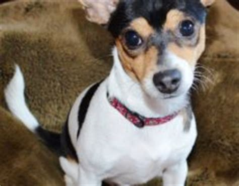 Rat Terrier Mix Shedding by Feist Chihuahua Mix Pictures Breeds Picture
