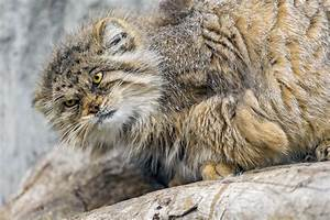 Angry Pallas Cat | www.imgkid.com - The Image Kid Has It!