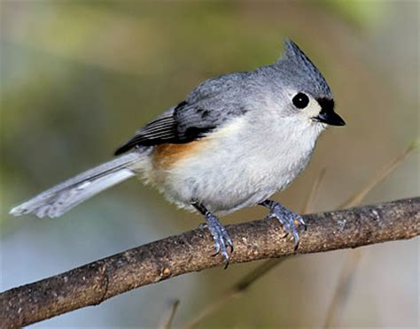 tufted titmouse facts habitat diet life cycle baby