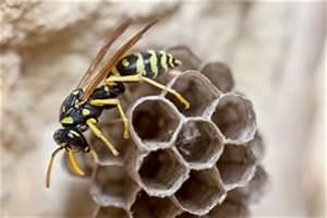 Kleines Wespennest Selber Entfernen : wespennest entfernen anleitung kosten tipps ~ Lizthompson.info Haus und Dekorationen