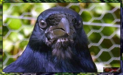 lazare le corbeau freux quot la vie d un corbeau chez les humains quot