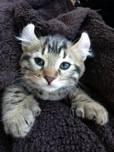 Lynx Domestic Cat Hybrid