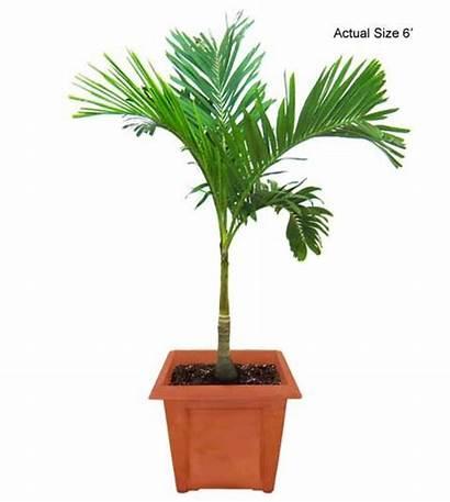 Palm Tree Trees Christmas Palms Indoor Plants