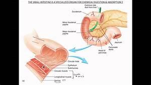 Small Intestine Functional Anatomy
